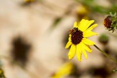 Le CEN foncé central de la Californie Caprinteria Santa Barbara Coastal Bright Yellow Petals de côte de Wildflower de ressort de  Photo stock