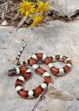 Le central raffine le serpent de lait et les fleurs jaunes Image stock