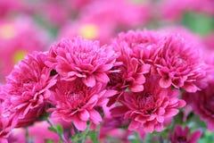 Le centre mou du beau dahlia fleurit, fond abstrait de fleur de dahlia Image libre de droits