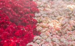 Le centre sélectif du bégonia coloré fleurit avec le jet d'eau, Se Image libre de droits