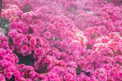 Le centre sélectif du bégonia coloré fleurit avec le jet d'eau, Se Photos libres de droits