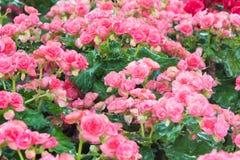 Le centre sélectif du bégonia coloré fleurit avec le jet d'eau, Se Photographie stock