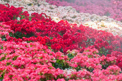 Le centre sélectif du bégonia coloré fleurit avec le jet d'eau, Se Images stock