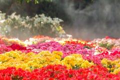 Le centre sélectif du bégonia coloré fleurit avec le jet d'eau, Se Photo stock