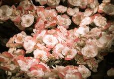 Le centre sélectif du bégonia coloré fleurit avec le jet d'eau, Se Photographie stock libre de droits
