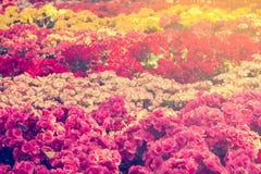 Le centre sélectif du bégonia coloré fleurit avec le jet d'eau, Se Images libres de droits