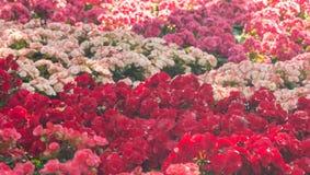 Le centre sélectif du bégonia coloré fleurit avec le jet d'eau, Se Photo libre de droits