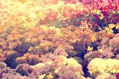 Le centre sélectif du bégonia coloré fleurit avec le jet d'eau, Se Photos stock
