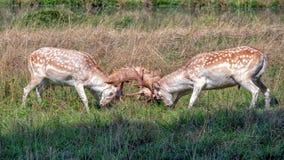 Le cerf commun affriché oppose le combat en parc de pays photographie stock libre de droits