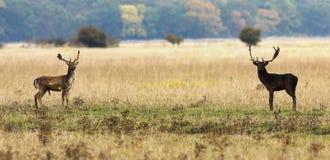 Le cerf commun affriché oppose prêt à combattre Images libres de droits