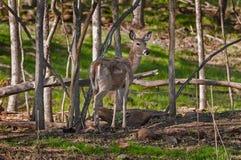 Le cerf commun Blanc-coupé la queue (virginianus d'Odocoileus) se tient parmi des arbres Image stock