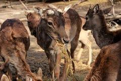 Le cerf commun bulgare de coupe de cage d'attraction animale d'animaux d'après-midi d'animaux mange des klaxons de foin dans les  Photos stock