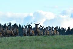 Le cerf commun de faune défend et continue à observer le troupeau de peau de daim pendant l'ornière sur le pré photos libres de droits