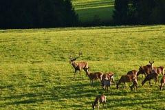 Le cerf commun de faune défend et continue à observer le troupeau de peau de daim pendant l'ornière sur le pré photographie stock
