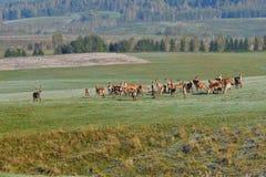 Le cerf commun de faune défend et continue à observer le troupeau de peau de daim pendant l'ornière sur le pré photo libre de droits