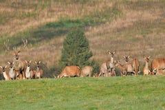 Le cerf commun de faune défend et continue à observer le troupeau de peau de daim pendant l'ornière sur le pré photographie stock libre de droits