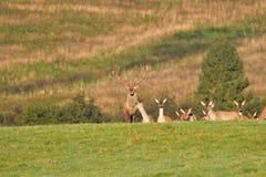 Le cerf commun de faune défend et continue à observer le troupeau de peau de daim pendant l'ornière sur le pré images stock