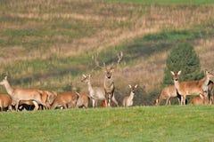 Le cerf commun de faune défend et continue à observer le troupeau de peau de daim pendant l'ornière sur le pré photos stock