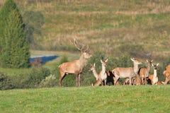 Le cerf commun de faune défend et continue à observer le troupeau de peau de daim pendant l'ornière sur le pré photo stock