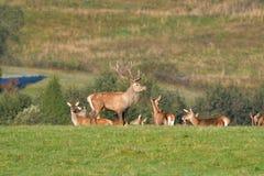Le cerf commun de faune défend et continue à observer le troupeau de peau de daim pendant l'ornière sur le pré image libre de droits