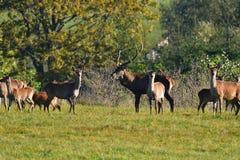 Le cerf commun de faune défend et continue à observer le troupeau de peau de daim pendant l'ornière sur le pré images libres de droits