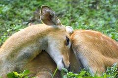 Le cerf commun de Sangai se repose Image stock
