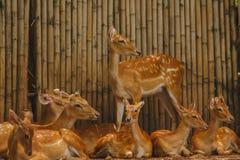 Le cerf commun est élevé dans le zoo photo stock