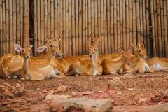 Le cerf commun est ?lev? dans le zoo images stock