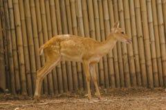 Le cerf commun est ?lev? dans le zoo image libre de droits