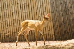 Le cerf commun est ?lev? dans le zoo photo stock