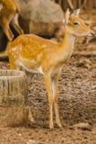 Le cerf commun est ?lev? dans le zoo photos stock