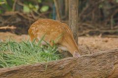 Le cerf commun est ?lev? dans le zoo image stock