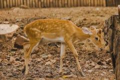 Le cerf commun est ?lev? dans le zoo photos libres de droits