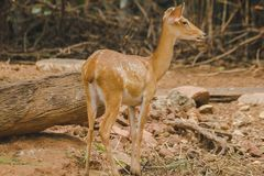 Le cerf commun est ?lev? dans le zoo photo libre de droits