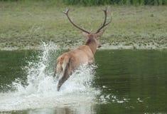 Le cerf commun rouge éclabousse Photographie stock