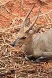 Le cerf commun sauvage avec le klaxon deux droit se repose Photographie stock