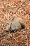 Le cerf commun sauvage avec le klaxon deux droit se repose Photo stock
