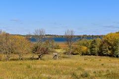 Le cerf commun se tient dans un arrangement rural d'automne Images libres de droits