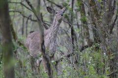 Le cerf commun sent le danger dans le ciel Photographie stock libre de droits