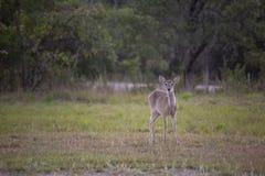 Le cerf de Virginie regarde avec curiosité photo libre de droits