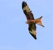Le cerf-volant rouge Images libres de droits