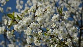 Le cerisier abstrait fleurit fond banque de vidéos