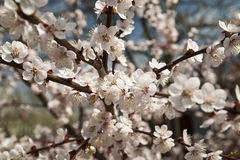 Le cerisier de floraison images libres de droits