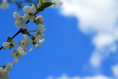 Le cerisier de floraison s'embranchent contre le ciel bleu et les nuages blancs Photos libres de droits