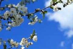 Le cerisier de floraison s'embranchent contre le ciel bleu et les nuages blancs Photo libre de droits