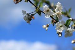 Le cerisier de floraison s'embranchent contre le ciel bleu et les nuages blancs Photographie stock