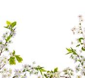 Le cerisier fleurit demi de trame Images stock