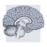 Le cerveau humain structure la vue de sagitall Image stock