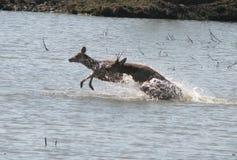 Le Cervus Nippon de troupeau saute par-dessus la rivière image libre de droits