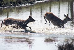 Le Cervus Nippon de troupeau saute par-dessus la rivière images stock
